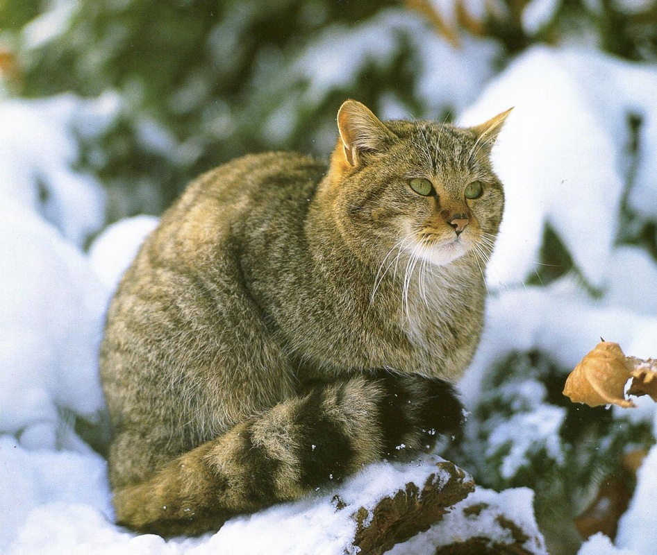Európai vadmacska | Állatvilág